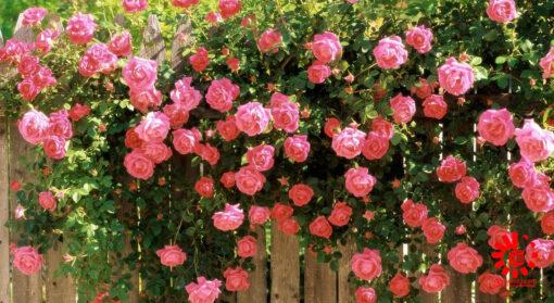 عطر گل محمدی