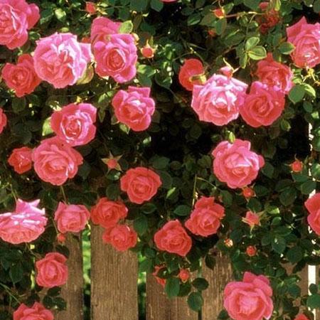 عطر گرمی گل محمدی